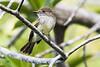 Galápagos flycatcher (Myiarchus magnirostris)