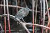 Lava heron (Butorides sundevalli)