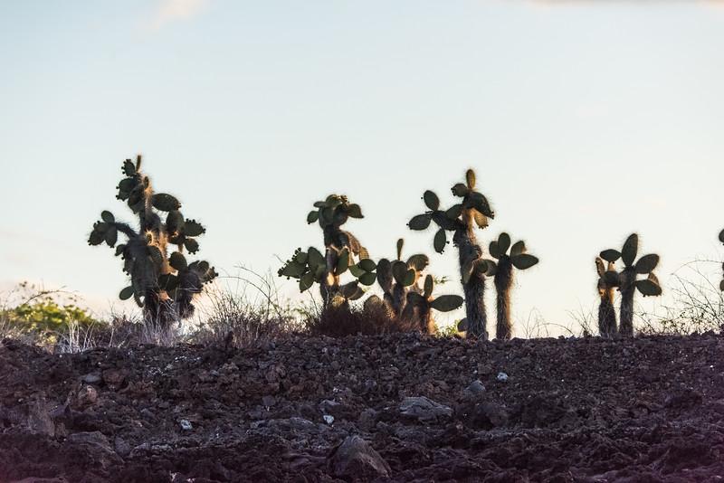 Galápagos prickly pear