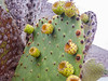 Opuntia galapageia var. profusa