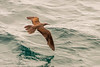 Brown noddy or common noddy (Anous stolidus)