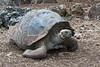 The San Cristóbal tortoises
