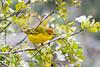 Mangrove warbler (Setophaga petechia aureola)