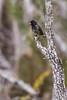 Small ground finch (Geospiza fuliginosa)