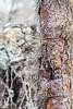 Galápagos prickly pear (Opuntia sp.)
