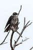 Galápagos mockingbird (Mimus parvulus)