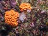 Orange cup coral (Tubastraea coccinea)