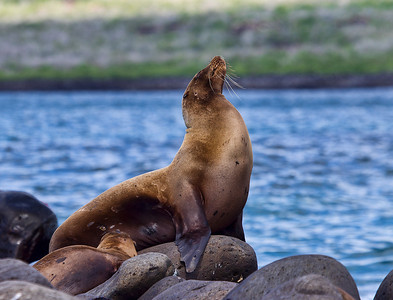 Fur Seal with Pup - Baltra Island, the Galapagos