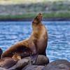 Fur Seal with Pup - Baltra Island, the Galapagos