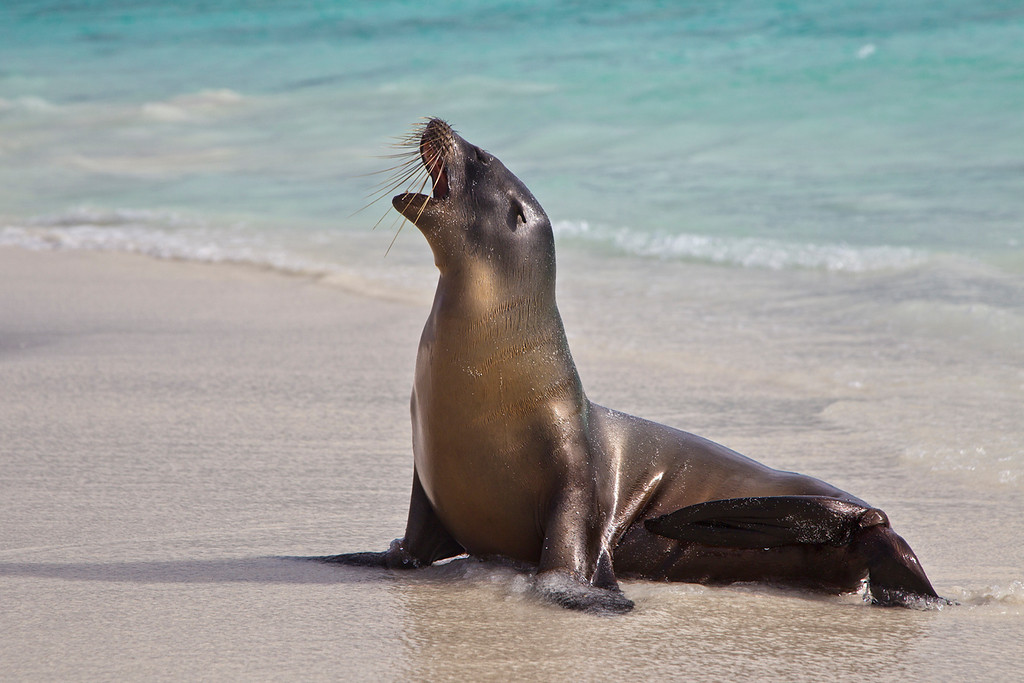 Image processed with Photoshop CS5.<br /> <br /> Galapagos Fur Seal bellows after coming ashore on Espanola Island.