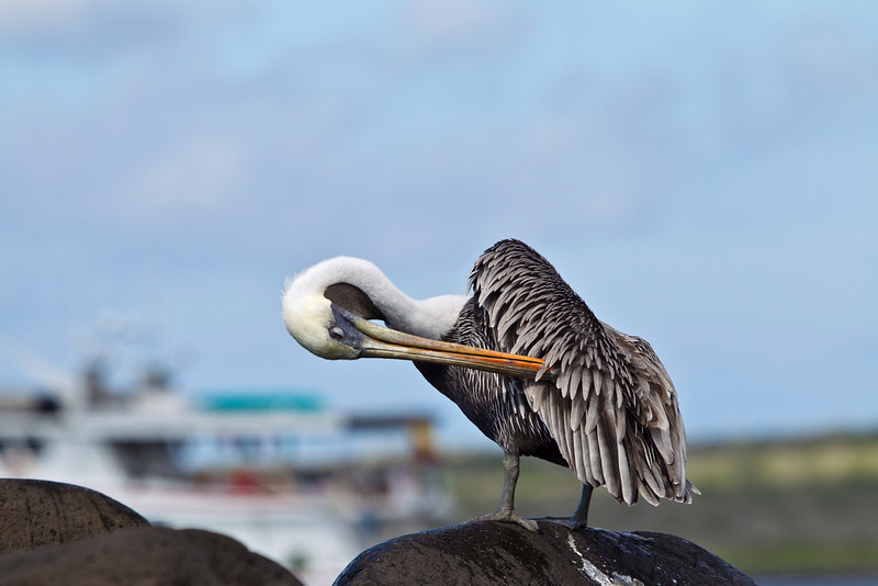 Image created with Photoshop CS5<br /> <br /> Brown Pelican preening, Floreana Island, the Galapagos