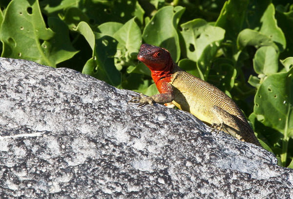 This images was processed in Photoshop  CS5  Female Lava Lizard - Espanola Island, Galapagos, Ecuador. The reptile genus Tropidurus includes several species of ground lizard. It includes seven which are endemic to the Galapagos Islands, where collectively known as lava lizards
