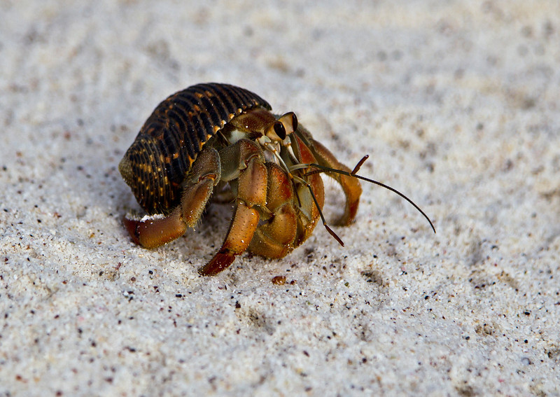 This image was created using Photoshop CS5<br /> <br /> Hermit Crab found on the beaches of Baltra Island, the Galapagos, Ecuador