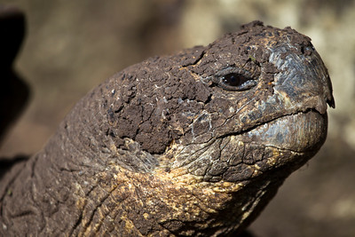 This image was processed with Photoshop CS5  Male Tortoise - 120 years old, Floreana Island, Galapagos, Ecuador
