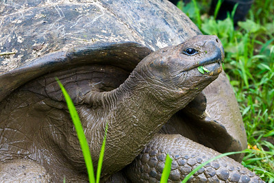 The Galápagos tortoise or Galápagos giant tortoise (Geochelone nigra) is the largest living tortoise, native to seven islands of the Galápagos archipelago. Fully grown adults can weigh over 300 kilograms (661 lb) and measure 1.2 meters (4 ft) long. They are long-lived, with a life expectancy in the wild estimated to be 100–150 years. Photo taken on Floreana Island, the Galapagos.