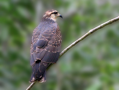 This image was created using Photoshop CS5.  Snail Kite - Rostrhamus sociabilis, (Adult Female) located near Sacha Lodge, Ecuador