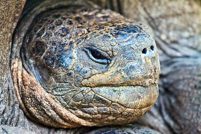 Galapagos Tortoise - this one was estimated at 85 years old, just a teenager. Taken on Floreana Island, the Galapagos on  March 18th, 2010