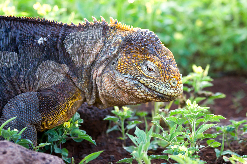 This image was processed in Photoshop CS5<br /> <br /> The Galapagos Land Iguana (Conolophus subcristatus) is a species of lizard in the Iguanidae family. It is one of three species of the genus Conolophus. It is endemic to the Galápagos Islands, primarily the islands of Fernandina, Isabela, Santa Cruz, North Seymour, Hood and South Plaza