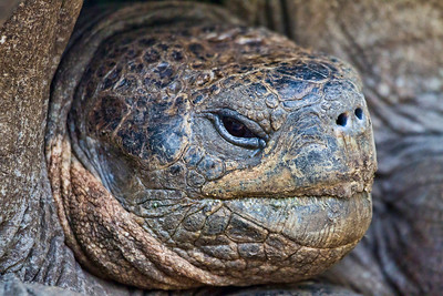 A Tortoise stares intently at me as I wade into deep mud to get close enough for my long lens to fill the frame with his profile. Estimated age is 135 years. Found on Floreana Island.