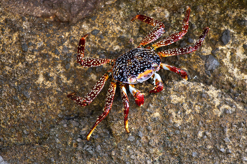 An amazingly colored Crab scampers across the rocks on Floreana Island, Galapagos. I had not time to drop down to get a face on shot since it scampered away amazingly quickly.