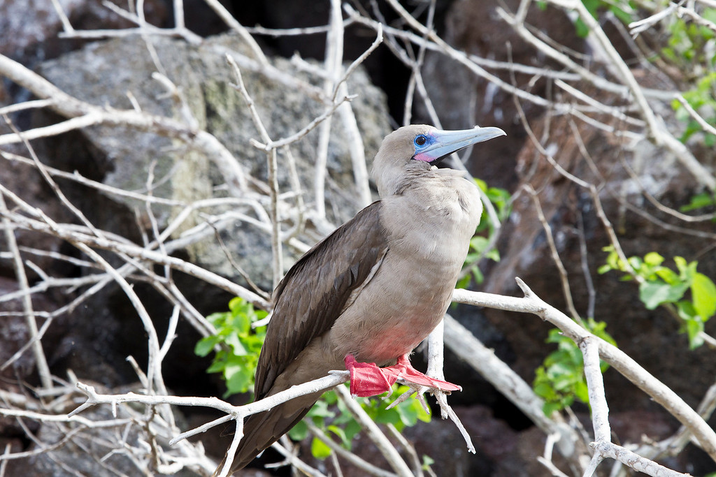 This Image was created using Photoshop CS5<br /> <br /> The Red-footed Booby is the smallest of all boobies at 71 cm in length and with a 137 cm wingspan. It has red legs, and its bill and throat pouch are coloured pink and blue. This species has two plumage forms. The white phase is mostly white with black on the flight feathers. The brown form is brown with a white belly, rump, and tail. The sexes are similar, and young birds are greyish with browner wings and pink legs found in tropical islands.