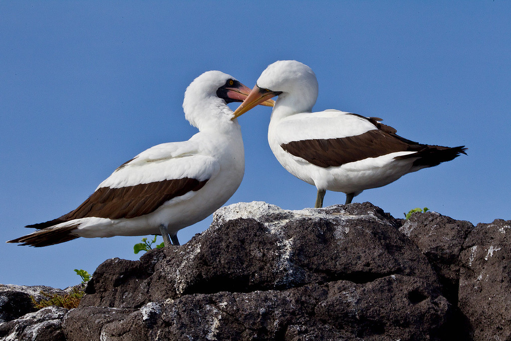 A pair of Masked Boobies groom each other, completely comfortable with me as I took this image just a few feet away. Baltra Island, Galapagos