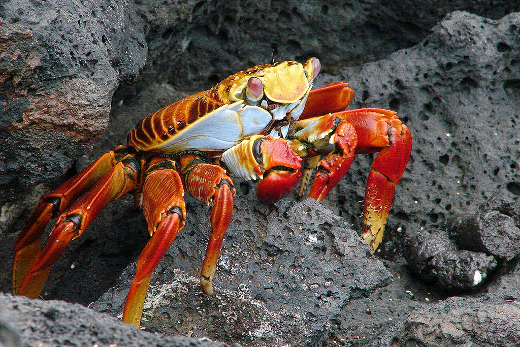 "These Crabs are often seen in large numbers on each volcanic Island in Galapagos. The scientific name of these crabs is ""Grapsus Grapsus"" and the common name is Sally Lightfoot Crabs or also known as ""Red Rock Crabs""."