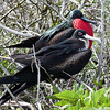 A pair of Frigate birds share a branch as the female decides whether or not he has the Neck pouch of her dreams!
