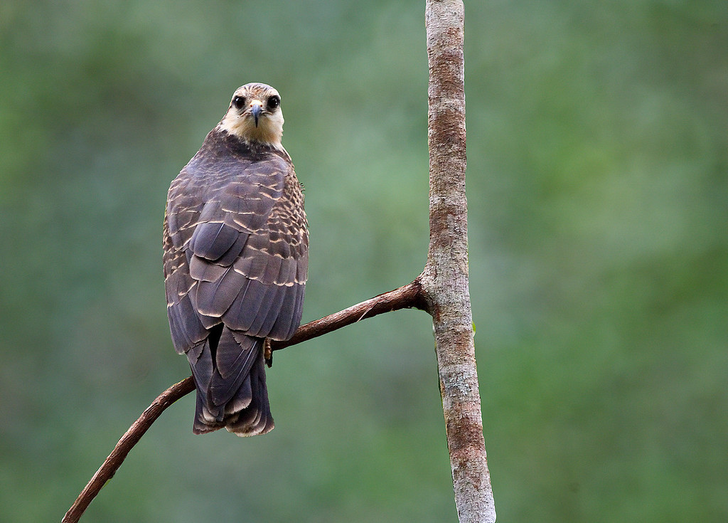 A Snail Kite looks directly at me as I canoe quietly past on a small tributary of the Amazon river in Ecuador.