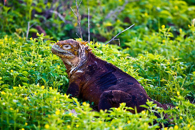 Image created in Photoshop CS5  Land Iguana - Seymour Island, Galapagos