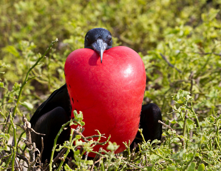 This image was created in Photoshop CS5. <br /> <br /> A Male Frigate bird extends its neck pouch to attract a female. We walked past dozens of them as they competed for females. Not at all disturbed by the humans amongst them. March, 2010