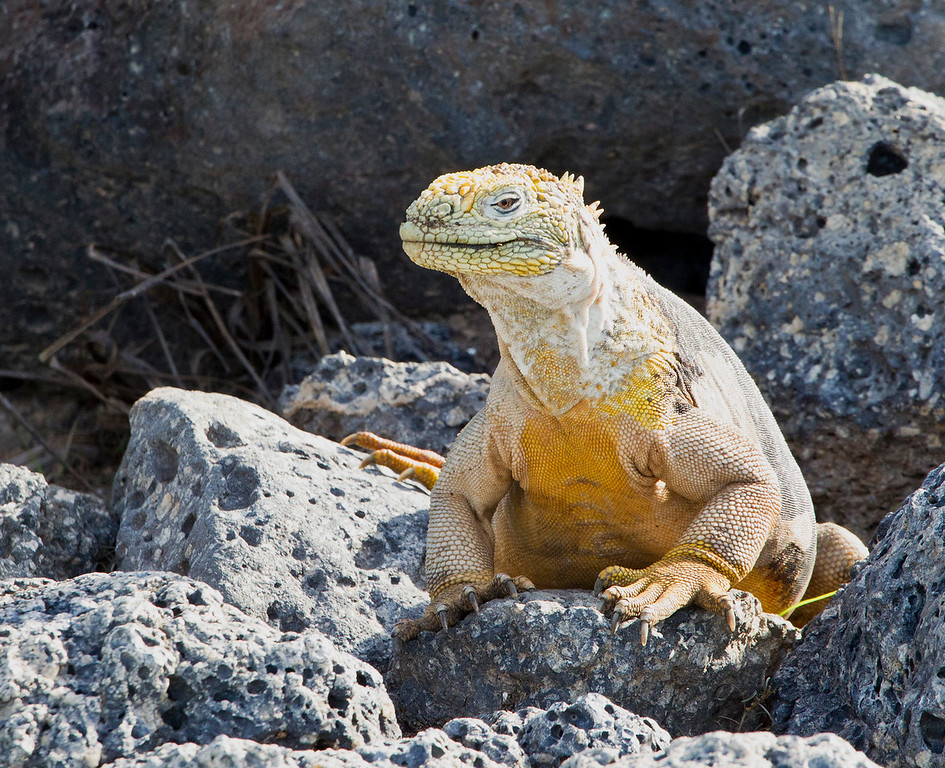 This image was processed using Photoshop CS5<br /> <br /> The Galapagos Land Iguana (Conolophus subcristatus) is a species of lizard in the Iguanidae family. It is one of three species of the genus Conolophus. It is endemic to the Galápagos Islands, primarily the islands of Fernandina, Isabela, Santa Cruz, North Seymour, Hood and South Plaza