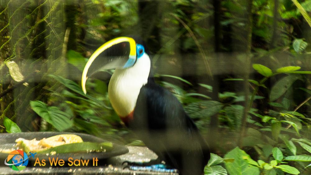 White-throated toucan at AmaZOOnico animal rescue shelter