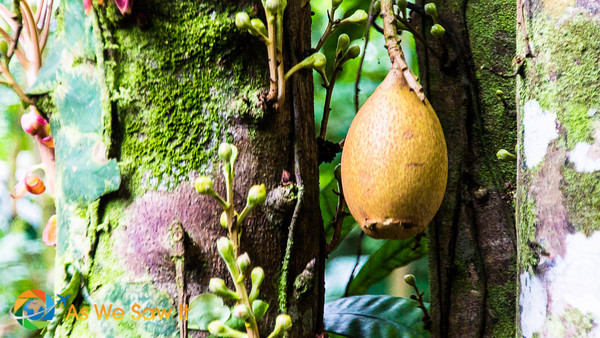 Cupuacu is a melon sized fruit with with flesh related to Cocao and is delicious.