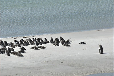 Magellanic Penguins and one King Penguin on the beach waiting for their mate to return.