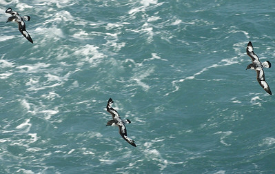 Cape Petrel escorted the ship to the Antarctic waters