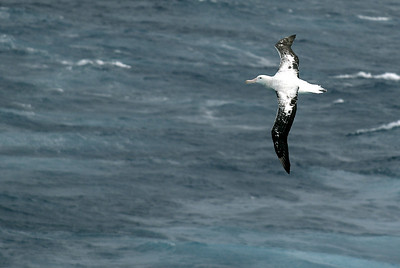 A Wandering Albatross with a 3.5m to 4m wingspan followed the cruise ship using the wind across the bow to soar, turn and dive.