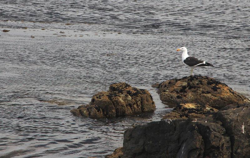 Dolphin Gull, Falklands