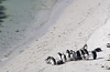 Magellanic Penguins and Chicks