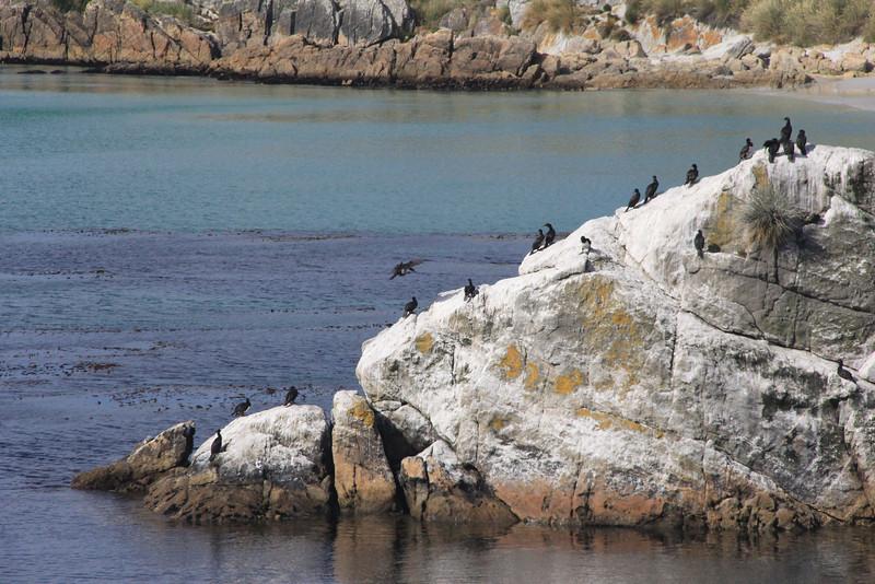 Austral Cormorants