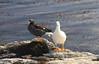 Kelp Geese Pair