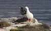 Kelp Geese Pair, Gypsy Cove, Falklands