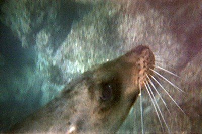 sealion_whiskers.jpg
