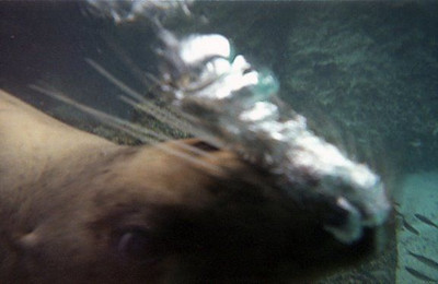 sea_lion_bubbles.jpg