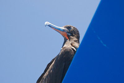 Frigatebird Resting on Upper Deck Bimini Top