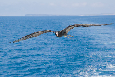 Frigatebird Following Ship