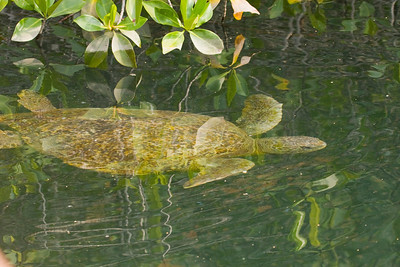 Sea Turtle in Mangrove