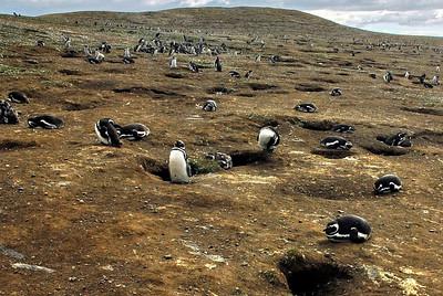 Penguines1