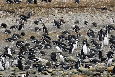 Penguines4