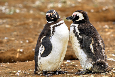 Magellanic Penguins of Magdelana Island, Chile
